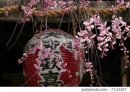 樱桃树 中国灯笼 纸灯笼