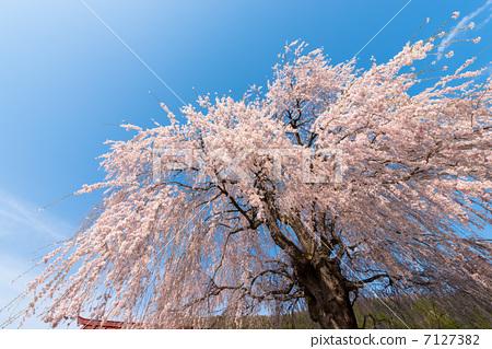 晴朗 万里无云 樱桃树