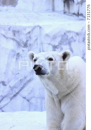 熊 动物 北极熊