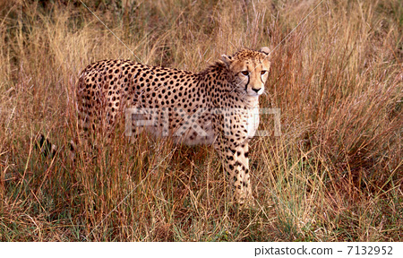 图库照片: 动物 猫科 猎豹