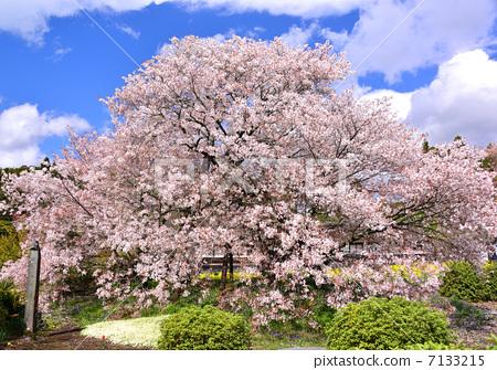 樱桃树 山樱桃 野樱桃花