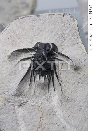 化石 节肢动物