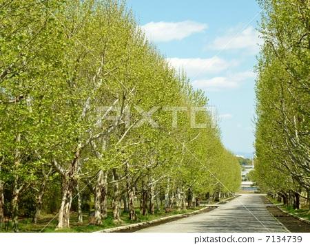 一排树 法国梧桐 柱廊