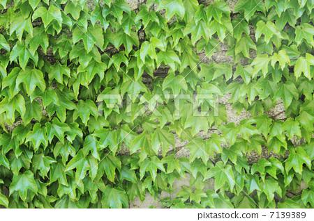 植物_花 观叶植物 树叶 波士顿常春藤 日本爬山虎  *pixta限定素材仅