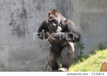 灵长类动物 巨大