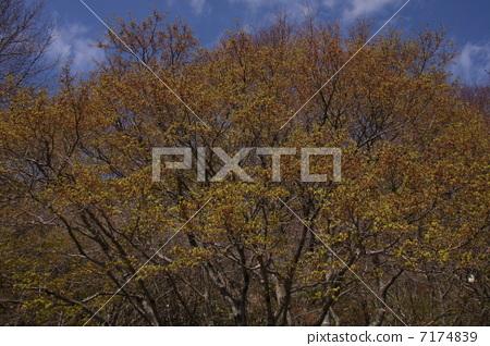 山枫 秋天颜色 银杏叶