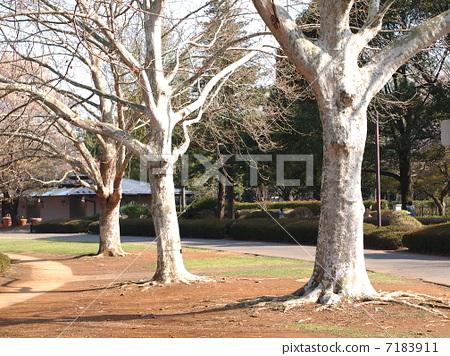 法桐 法国梧桐 一排树