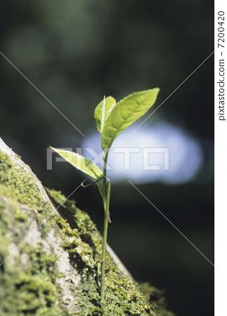 照片素材(图片): 树叶 新茶叶 嫩叶