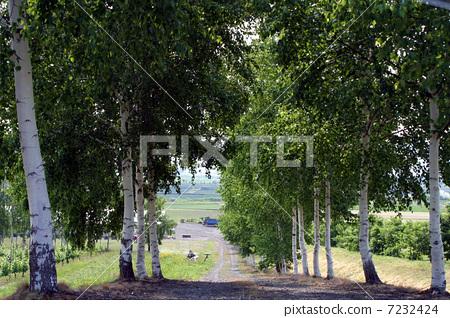 防风林 下坡 银桦树