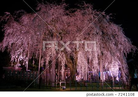 夜晚的樱花树 樱桃树 树枝低垂的樱花树