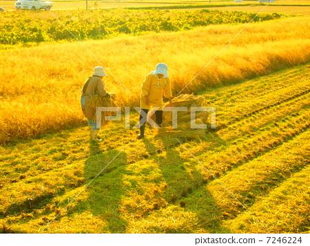 图库照片: 水稻丰收 稻田 水稻