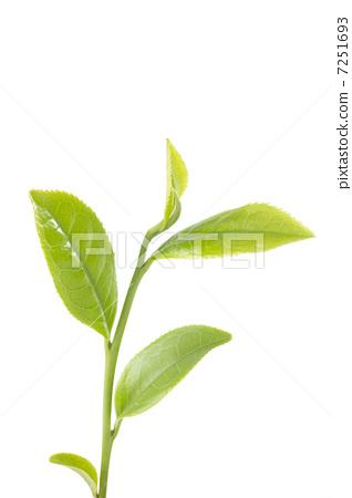 木瓜树叶子图片
