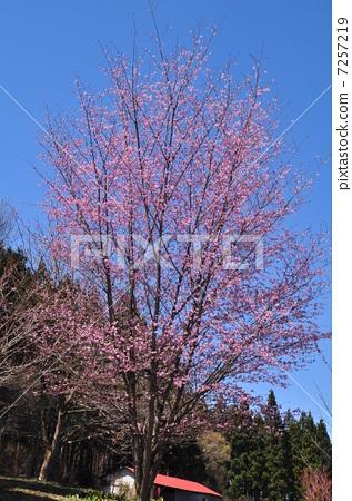 春 野樱桃花 野樱桃树