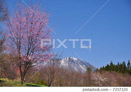 景色 野樱桃花 野樱桃树