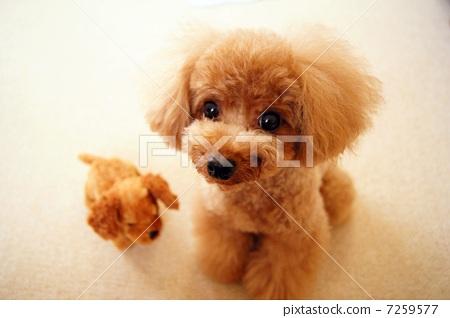 图库照片: 茶杯贵宾犬 玩具狗 狗