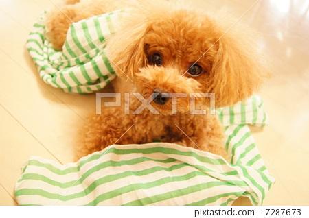 照片 工艺品 动物 室内狗 贵宾犬 玩具狗  *pixta限定素材仅在pixta