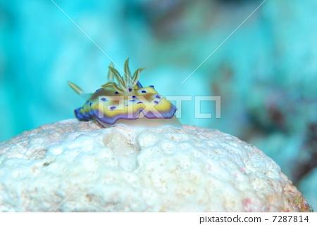 铜斑多彩海蛞蝓 海参 海底的