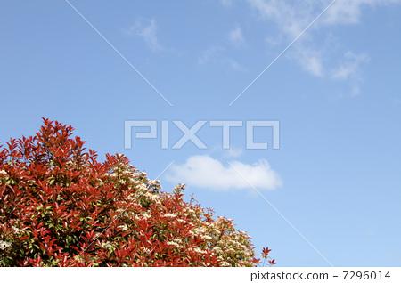 图库照片: 船桥市公园 深红色的日本红叶石楠 日本石楠属