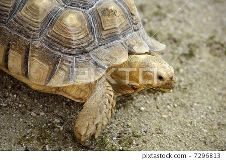 照片素材(图片): 乌龟 非洲盾臂龟 步行