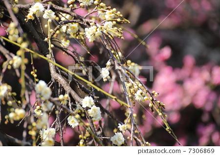 图库照片: 树枝低垂的李树 白梅花 梅