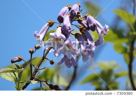 花朵 花卉 泡桐树