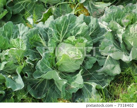 照片素材(图片): 卷心菜农场 甘蓝 包菜