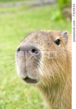 动物 水豚 快乐的