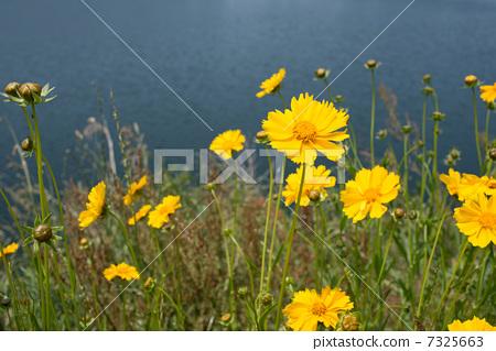 照片素材(图片): 剑叶金鸡菊 花朵 花