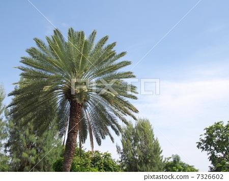 椰子树 棕榈树 泰国