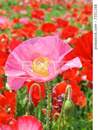 图库照片: 佛兰德斯红罂粟 罂粟花 多