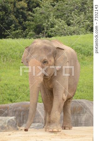 图库照片: 亚洲象 陆生动物 大象