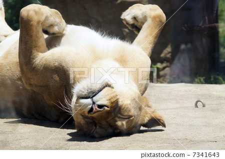 躺/�ij�{��j8�Nh@_图库照片: 动物 狮子 仰面躺