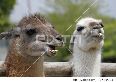 图库照片: 骆驼 骆驼科 野生动物园