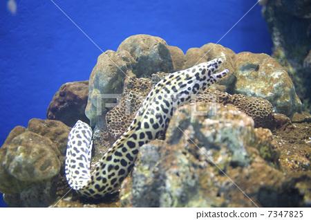 图库照片: 海鳝 鱼 活的东西