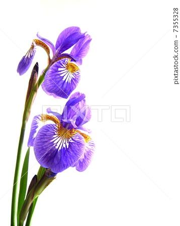 花朵 首页 照片 人物 男女 日本人 开花 鸢尾 花朵  *pixta限定素材仅