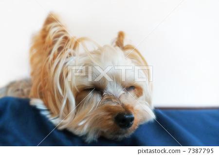 照片 工艺品 动物 约克夏犬 约克区 室内狗  *pixta限定素材仅在pixta