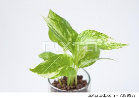 图库照片: 黄金葛 室内盆栽 观叶植物