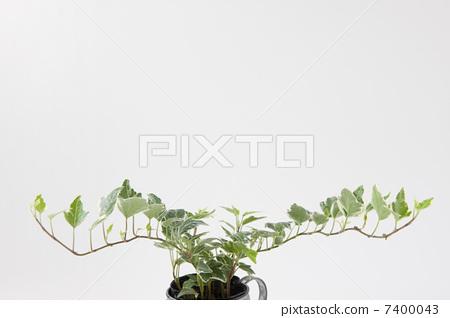 室内盆栽 观叶植物 常春藤