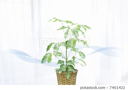 室内盆栽 观叶植物 清澈