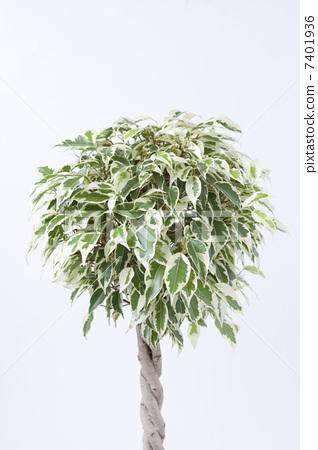 树木 室内盆栽 观叶植物