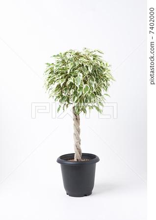本杰明 室内盆栽 观叶植物