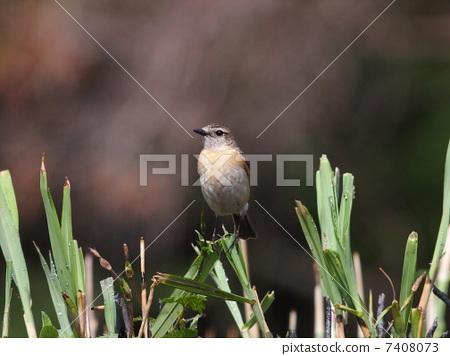 野生鸟类 非洲野鶲 小鸟