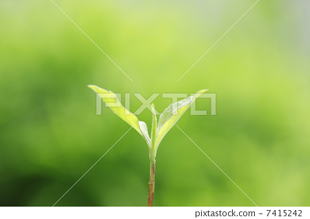 照片素材(图片): 蓓蕾 嫩芽 萌芽