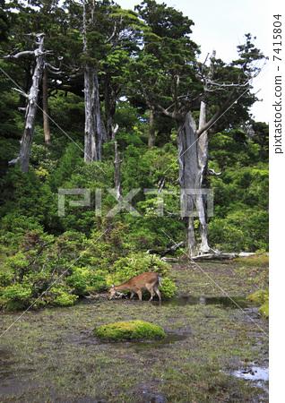 图库照片: 鹿 屋久岛梅花鹿 动物