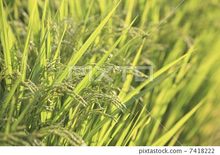 水稻 稻穗 叶子
