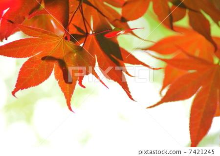 树叶 银杏叶 叶子