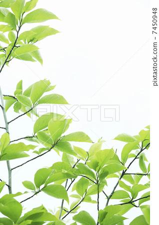 树叶 银杏叶 绿叶