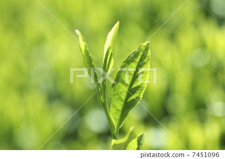照片素材(图片): 树叶 茶叶