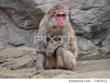 日本猕猴 猴子 动物园