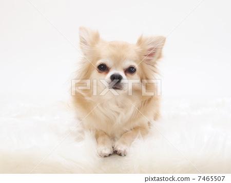 动物 吉娃娃 玩具狗
